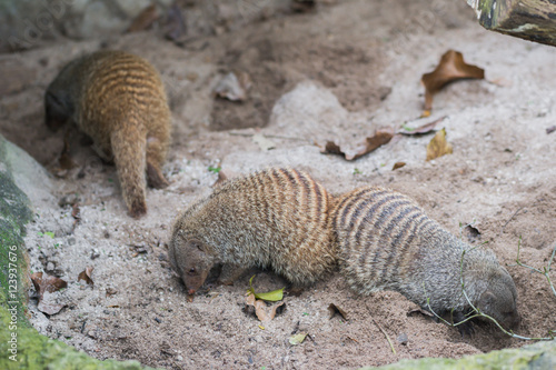 Foto op Canvas Eekhoorn Three fluffy striped mongoose in the zoo in Singapore is looking for something on the ground