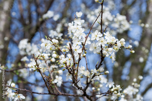 Plum Tree With Little White Flowers In The Early Spring Buy This
