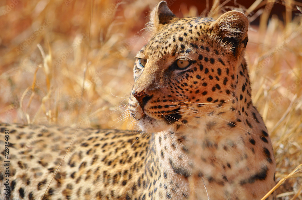 Close up of a leopard in Etosha national park in Namibia Africa