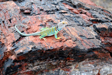 Colorful Collared Lizard On Petrified Wood In Petrified Forest National Park