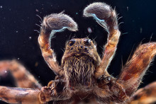Extra-sharp Shot Of The Male Wolf Jumping Spider Through A Microscope