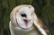 Barn Owl in tree