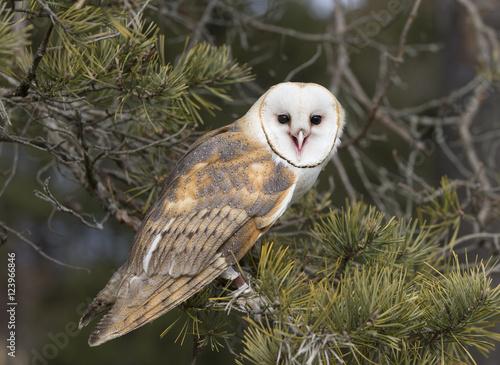 Photo  Barn Owl in tree