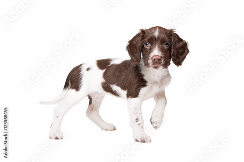 Garden Poster Dog Dutch partrige dog, Drentse patrijs hond puppy
