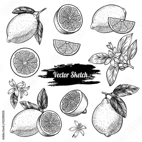 Vector lemons hand drawn sketch. Sketch vector  food illustration. Vintage style Wall mural