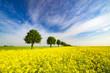wiosenne pole,zielone zboże,zielone drzewka,błękitne niebo