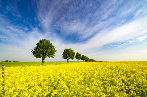 Plakat wiosenne pole,zielone zboże,zielone drzewka,błękitne niebo