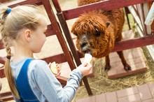 Blond Toddler European Girl Feeding Fluffy Furry Alpacas Lama Camel In Park