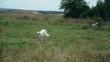 Russian hound on walk in a field in grass