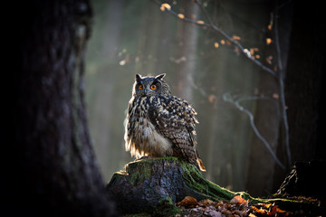 Eagle Owl is sitting on the tree stump.