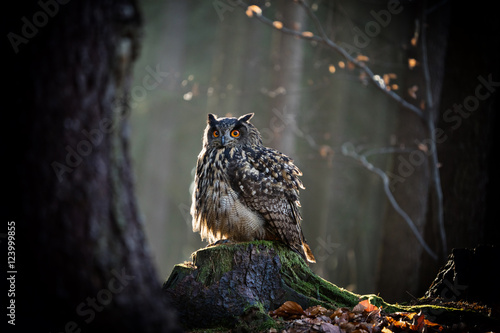 In de dag Uil Eagle Owl is sitting on the tree stump.