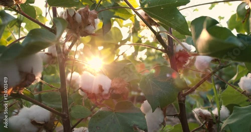 Готовое видео Dolly shot 4K, ripe, <b>top quality cotton</b> bolls on the ...