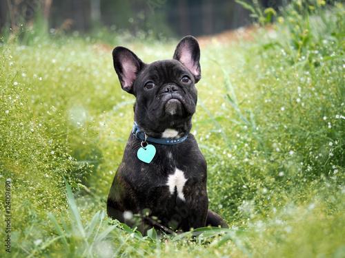 Foto op Plexiglas Franse bulldog Dog sitting in the tall green grass