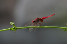 Red Skimmer Or Firecracker Dragonfly. Libellula Saturata Sitting On A Branch