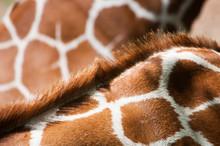 Giraffe Skin, Backgrounds