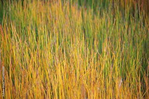 Fotografie, Obraz  colorful sedge plant
