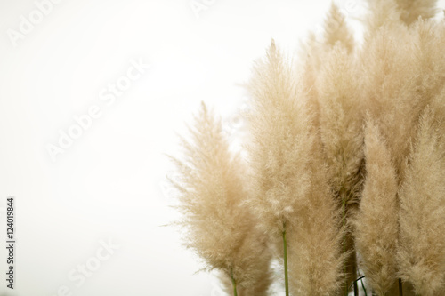 Photo  Pampas grass on isolated background