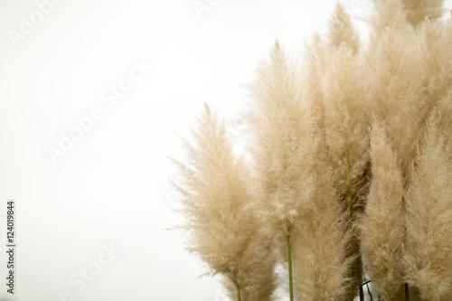 Valokuva  Pampas grass on isolated background
