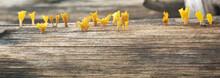 Closeup Yellow Jelly Mushroom Growing On Wood