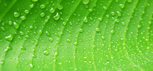 Macro Water Droplets On Banana Leaf