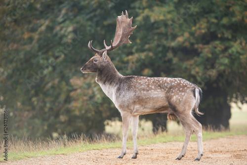 фотография  Fallow Deer, Deer, Dama dama