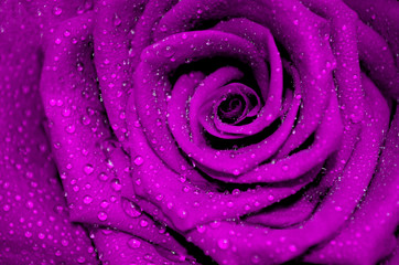 Obraz na Plexipurple rose with rain droplets