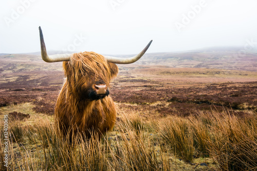 Foto auf Gartenposter Schottische Hochlandrind scottish highland cow in field. Highland cattle. Scotland