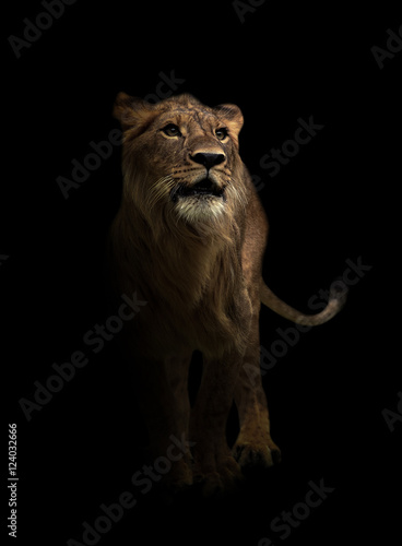 Tuinposter Leeuw yong male lion in the dark