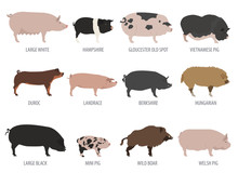 Pigs, Hogs Breed Icon Set. Flat Design