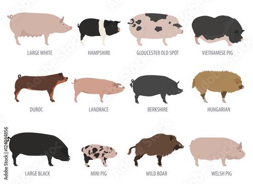 Carta da parati Pigs, hogs breed icon set. Flat design