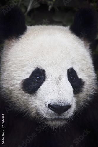 Portrait of panda (ailuropoda melanoleuca);China Billede på lærred