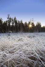 Frozen Grass With Sunlight Shining Through The Trees; Northumberland, England
