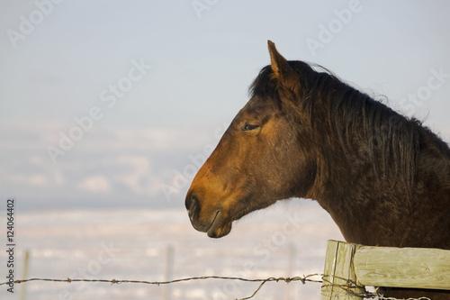 profil-brown-horse-39-s-head-patrzac-na-szermierce-z-pokryte-sniegiem-dziedzinie-i-gor-w-tle-z-blekitne-niebo-calgary-alberta-kanada