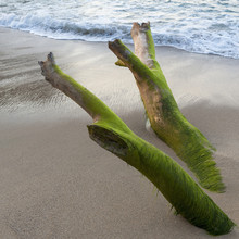 Seaweed Covering Driftwood On ...