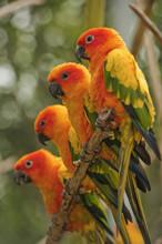 Orange Parakeets