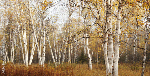 Birch Trees In Autumn; Thunder Bay, Ontario, Canada