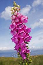 Foxglove (Digitalis) Flowers On The Beara Peninsula In West Cork; County Cork, Munster, Ireland