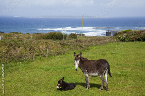 A Donkey And It's Foal Near Doolin; County Clare, Ireland
