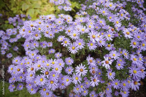 Fototapeta piękne kwiaty - astry w ogrodzie obraz