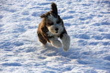 Bearded Collie Dog Running In Snow