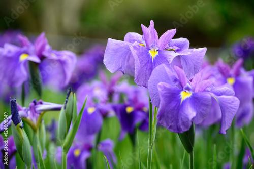 Deurstickers Iris 花菖蒲
