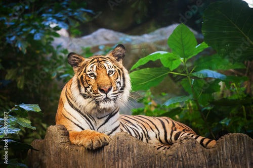Fotomural Bengal Tiger in forest show head and leg