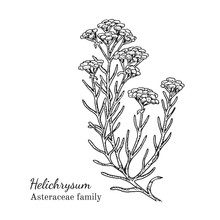 Ink Helichrysum Herbal Illustr...