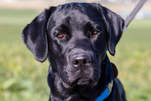 Black Labrador Retriever Dog