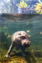 Pygmy Hippos Dive Underwater With Fish Thailand