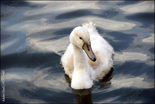 Poster Swan baby zwaan zwemt alleen in het water