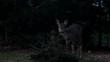 European roe deer in the dark woods