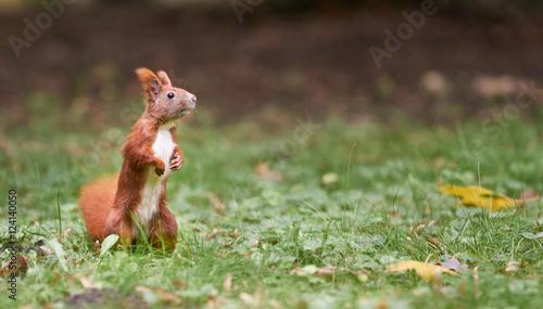 Tuinposter Eekhoorn neugieriges Eichhörnchen im Park