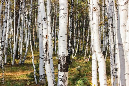 Deurstickers Berkbosje White birches