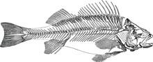 Vintage Image Fish Skeleton